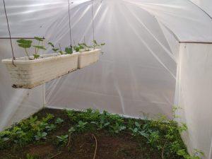 גידול ירקות בחממה ביתית
